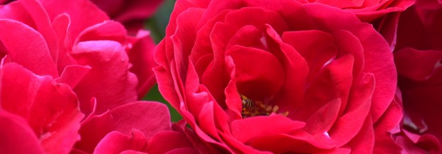 Roże na Dzień Programisty. Foto: ladybu9,